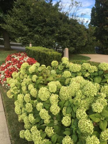 Side yard hydrangea